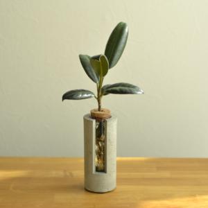 ゴムの木の水耕仕立て。もともとは土植え込みのポット苗を水槽で慣らしてからこの形に。とてもかっこいいですね。